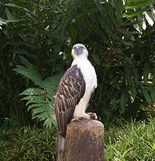 Philippine Eagle, Critically Endangered, National Bird of the Philippines