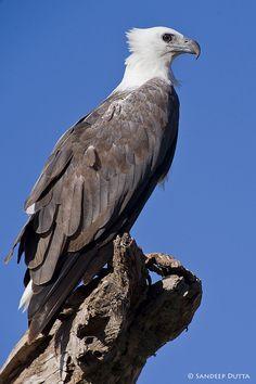 500px / Photo White Bellied Sea Eagle by Sandeep Dutta