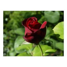 Elegant Red Velvet Rose Poster - $27.35 - Elegant Red Velvet Rose Poster - by ‪#‎RGebbiePhoto‬ @ zazzle - ‪#‎rose‬ ‪#‎flower‬ ‪#‎red‬ - A beautiful rosebud, deep velvet red in color, in a spring garden. Strong red and green theme, this elegant rose adds a touch of class to any occasion. Elegance and Romance, a lover's flower. A definite must for red rose lovers!