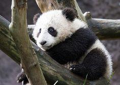 Xiao Liwu... baby panda at the San Diego Zoo. Awww.