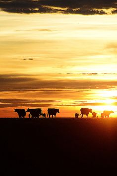 Drummond Ranch sunset (the pioneer woman) Country Farm, Country Life, Country Living, Country Roads, Photomontage, Sunset Silhouette, Beef Cattle, Country Scenes, Ranch Life