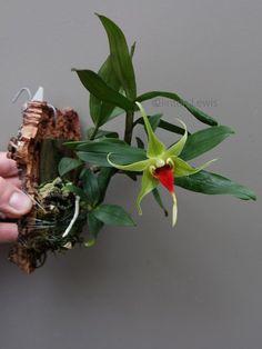 Dendrobium tobaense var. giganteum (Sumatra)