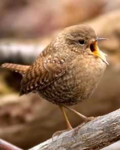 Winter Wren ~ incredibly powerful voice from such a little bird