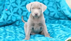 Louie   Labrador Retriever - Silver Puppy For Sale   Keystone Puppies Puppies For Sale, Dogs And Puppies, Silver Labrador Retriever, Puppy Love, Adventure, Animals, Animales, Animaux, Animal