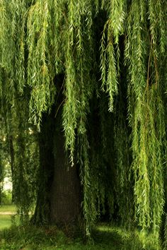 My favourite tree. I so so want a weeping willow in my backyard. I want to hide under the leafy canopy and dream. - My Backyard Now