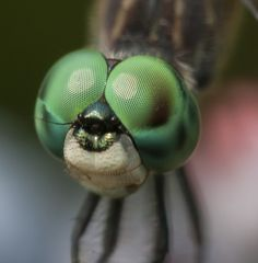 Nature got the dragonfly's primitive design right – and even astronomers are taking note - The Washington Post