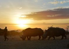 A park ranger walks ahead of a nothern white female rhinoceros named Najin and a companion southern-white female at Ol Pejeta Conservancy, some 290 kms north of the Kenyan capital, Nairobi, on January 27, 2015. Najin is one of only five members of the sub-species left on the planet, three of which reside at Ol Pejeta Conservancy.