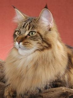 Maine Coon - A lion should be so lucky to have this mane.. http://www.mainecoonguide.com/maine-coon-temperament/