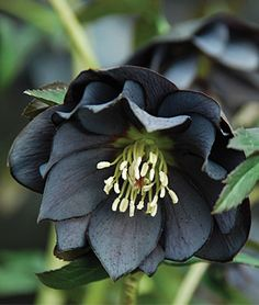 Hellebore Onyx Odyssey lovely perennial for a gothic garden or garden accent - My Secret Garden Black Flowers, Exotic Flowers, My Flower, Flower Power, Beautiful Flowers, Flower Ideas, Colorful Flowers, Shade Garden, Garden Plants