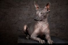 "What a mouthful! The Xoloitzcuintli (pronounced ""show-low-eats-queen-tlee"") or Xolo for short, turns heads with his unusual looks and earns fans thanks to his attentive personality."