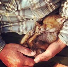 Einmal einen Fuchswelpen im Arm halten u glücklich sterben.