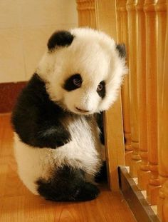 Baby Panda. More Cute, Right?