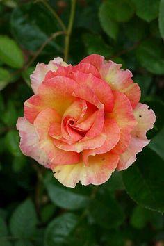 Rosa La Parisienne.