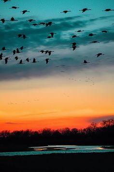 Sandhill Cranes - fotografia di uccelli. Sandhill cranes. tramonto a stampa. blu…