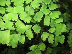 Maidenhair Fern (Adantium capillus-veneris)