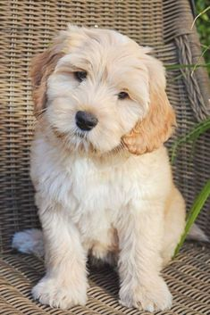 Australian Labradoodle Puppies, Cockapoo Puppies, Cute Puppies, Dogs And Puppies, White Labradoodle, Adorable Dogs, Bichon Frise, Labradoodle Chocolate, Pet Dogs