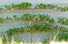 Combination Espalier Asian Pear - 3 in 1 ~ Three varieties on one tree…