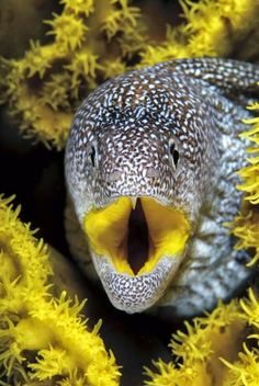 Yellow-mouth Moray Eel, Red Sea, Eilat, Israel