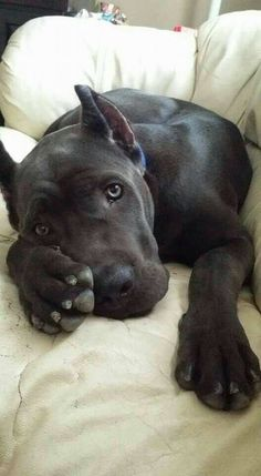 Dog Breeds Border Collie Cane Corso by earlene.Dog Breeds Border Collie Cane Corso by earlene Cane Corso Dog, Cane Corso Puppies, Cane Corso Italian Mastiff, Cane Corso Mastiff, Cute Puppies, Cute Dogs, Dogs And Puppies, Doggies, Animals And Pets