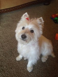 Westie Maggie just the love of my life .. xoxo