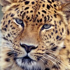 The Amur leopard is undoubtaedly one of the rarest big cats on Earth and needs all the help and support it can get. Just look at those eyes!
