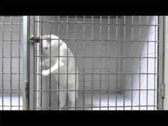 Cat Video: Cat Escape Artist. Feline prison break! See a feline Houdini escape a cage by opening the latch! The cat is a working cat – he is the office cat at a French vet clinic and was only in the cage long enough to show off his escape artist skills! Over 3 million views for this! www.catfaeries.com/videos/2015/03/26/cat-video-cat-escape-artist/ - Cat Faeries - Products for good behavior & health for the modern housecat.