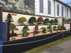 Bonsai gardener's winning streak continues in 20th year at Chelsea Flower Show (From Swindon Advertiser)