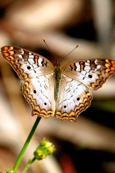 The White Peacock (Anartia jatrophae) is a species of butterfly found in the southeastern United States, Central America, and throughout much of South America.