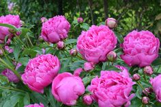 Pink Peony flowers  perennials that come back every spring to take your breath away. The plants may live longer than you do—some have been known to thrive for 100 years.