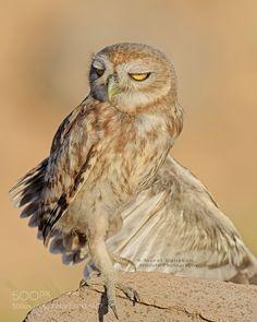 Little Owl by muratca