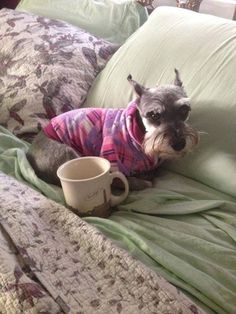I need a second cup before I get up! Schnauzer <3