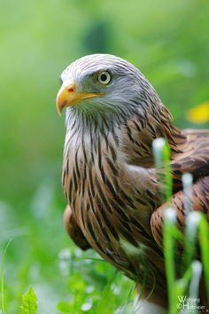 Hellenthal Red Kite