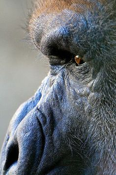 Up close. #gorilla #animals