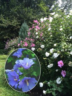 Spring flowers, move over. Theseastounding shrubs can get any gardener through the summer doldrums. Best Shrubs For Shade, Flowering Shrubs For Shade, Shade Shrubs, Evergreen Shrubs, Deciduous Trees, Trees And Shrubs, Common Garden Plants, Bog Plants, Lilac Varieties