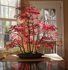 Bonsai Maple Forest in Autumn Growing bonsai from seeds is very difficult. Go to the garden center in Lowe's or a bonsai nursery to get one that is already somewhat matured. Ikebana, Plantas Bonsai, Bonsai Plants, Bonsai Garden, Bonsai Trees, Acer Bonsai, Indoor Bonsai Tree, Bonsai Forest, Decoration Plante