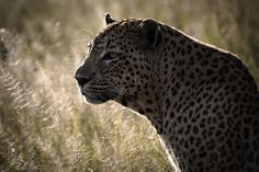 One of the weeks favourites. Camp Pan Male in backlight. Simon Smit
