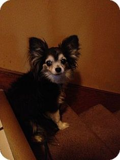 Crown Point, IN - Chihuahua Mix. Meet Mya a Dog for Adoption.