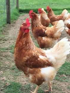 supposed to be the best layer. Chicken For Dogs, Chicken Life, Chicken Chick, Small Chicken, Chicken Ham, Best Egg Laying Chickens, Types Of Chickens, Raising Goats, Raising Chickens