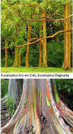 Eucalyptus Deglupta, l'arbre arc-en-ciel  eucalyptus-rainbow  Originaire des Philippines, on le trouve naturellement en Nouvelle-Bretagne, Nouvelle-Guinée, Seram, Sulawesi et en Polynésie Française. Il est cultivé dans de nombreux pays dans le monde.
