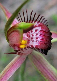 Caladenia arenicola