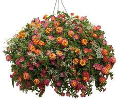 Lantana Hanging Basket Alluring Lantana Hanging Basket  Flower Power  Pinterest  Gardens Plants Design Ideas