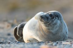 grey seal by holger2061 #animals #animal #pet #pets #animales #animallovers #photooftheday #amazing #picoftheday