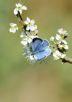 Holly Blue ( Celastrina argiolus ) by Kevin Keatley