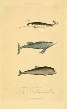 Compléments de Buffon, R.P. Lesson, 1838.