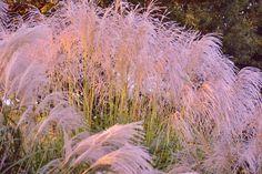 Autumn is felt in Japanese pampas gra... by Chikara Amano