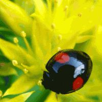 Animated Insects, Animated Flowers, Animated Graphics, Insects, Bugs, Ladybugs, Animated Ladybugs, Keefers photo Keefers_AnimatedLadybugs243-1.gif