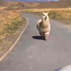 little alpaca 💕 - Видео Super Cute Animals, Cute Little Animals, Cute Funny Animals, Funny Animal Videos, Animal Memes, Fluffy Animals, Animals And Pets, Cute Alpaca, Baby Alpaca
