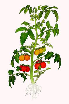 Tomato Plants For Sale Organic Heirloom Potted Farm Raised $2.00