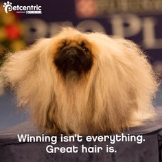Congrats to all the dogs and owners at the National Dog Show! This Pekingese won the 'Best Of The Best' award today-Nov 28/13.