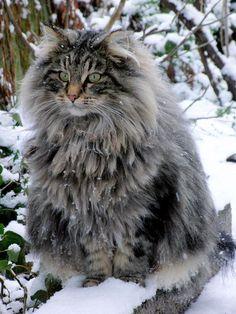 norwegian forest cat norwegian cat More - cat Pretty Cats, Beautiful Cats, Animals Beautiful, Cute Animals, Fluffy Kittens, Fluffy Cat, Cute Cats And Kittens, Rare Cat Breeds, Rare Cats